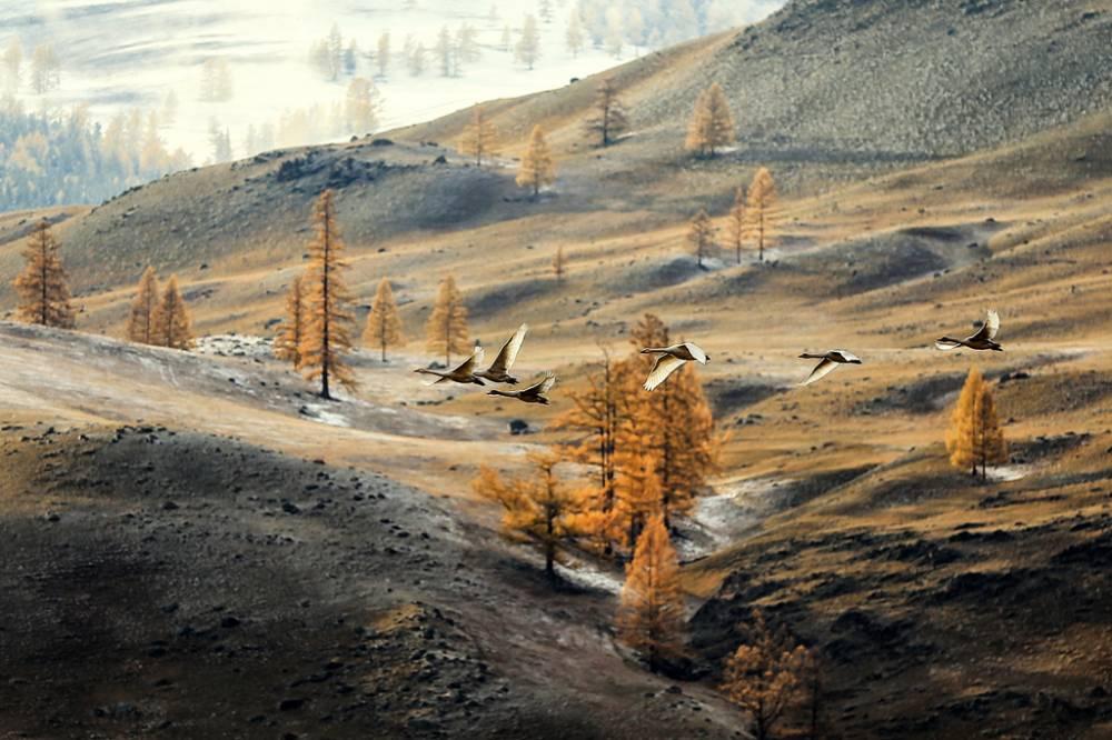 Лебеди горного Алтая