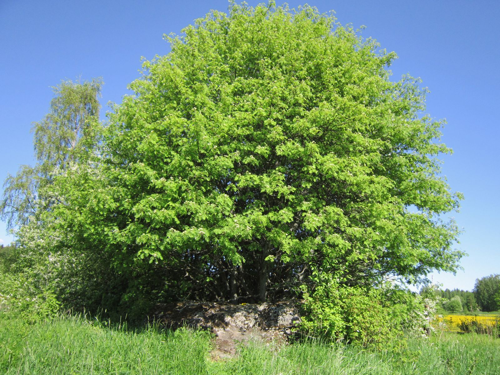 A sacred stone under a sacred tree