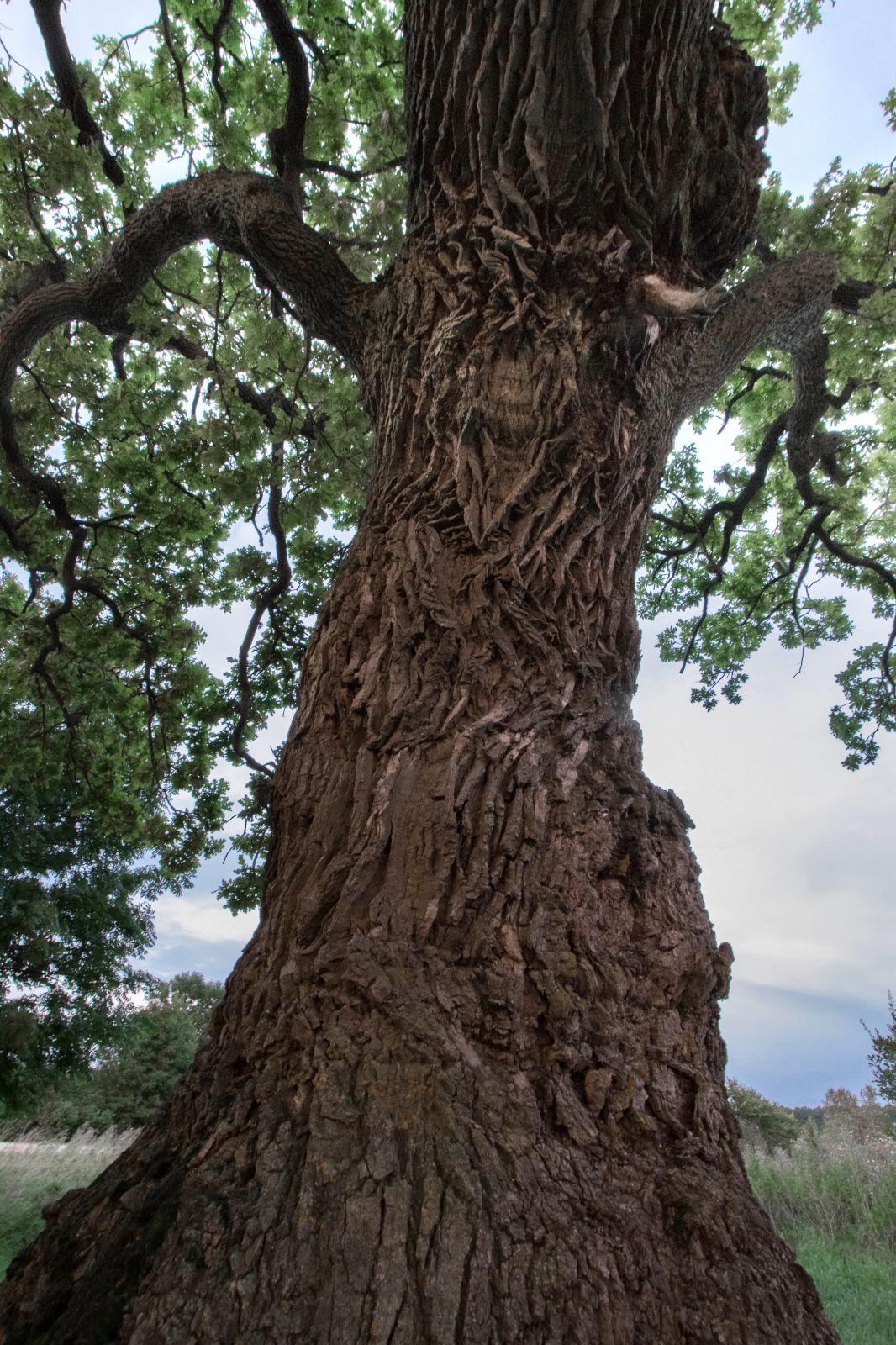 Tuhandeaastane tamm on näinud aegu ja rahvaid