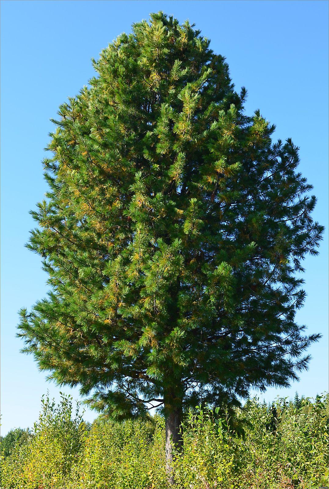 Cedar (siberian)