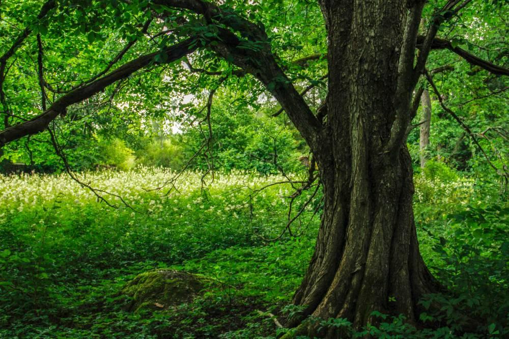 Kiigeoru sacred grove