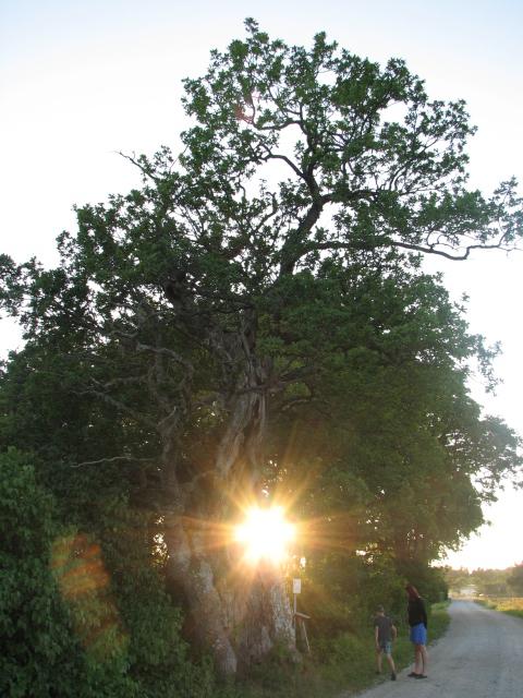 Tärkma tamme päikeseratas