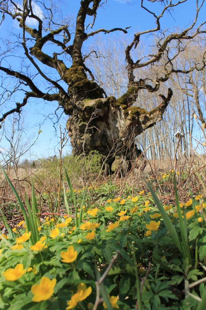 Hiiepuu kevad