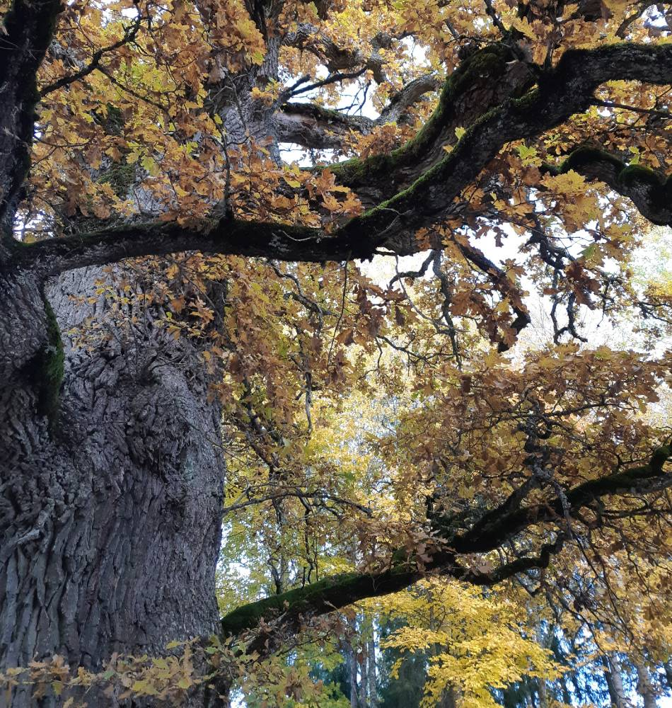 Vana lävevalvur - Mustahamba ristide tamm